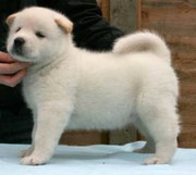 Enticing Akita pups for you